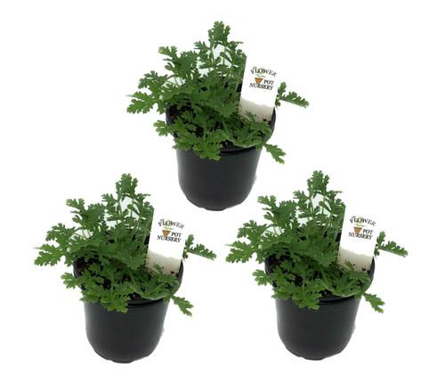 """FlowerPotNursery Citronella Mosquito Plant Pelargonium citrosum 4"""" Pot (3 Pots)"""