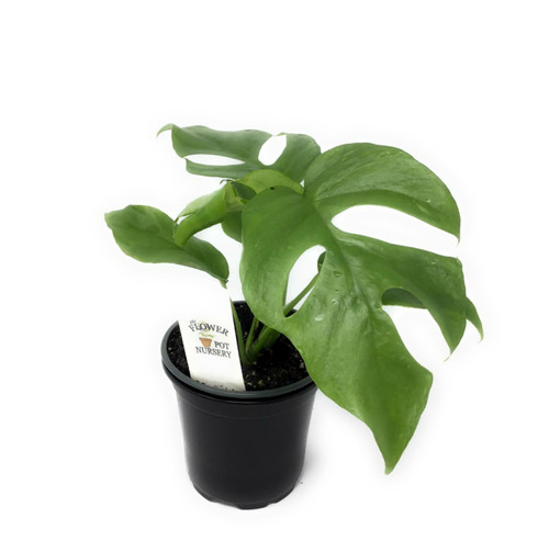 "FlowerPotNursery Monstera Ginny Rhaphidophora tetrasperma Mini Monstera 4"" Pot"