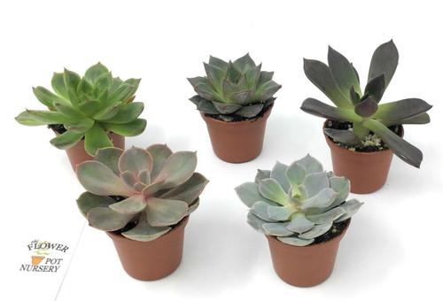 "FlowerPotNursery Assorted Echeveria Succulent Echeveria spp. 2"" Pot (5 Plants)"