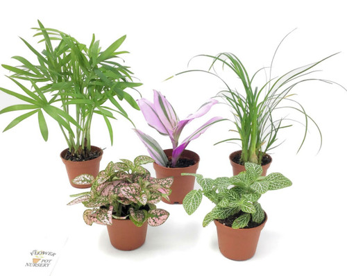 "FlowerPotNursery Assorted Mini Terrarium Fairy Garden Plants 2"" Pot (5 Plants)"