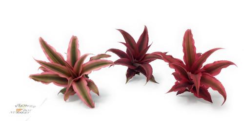 "FlowerPotNursery Earth Star Cryptanthus bivittatus Red Ruby Pink 2"" Pot 3 Plants"