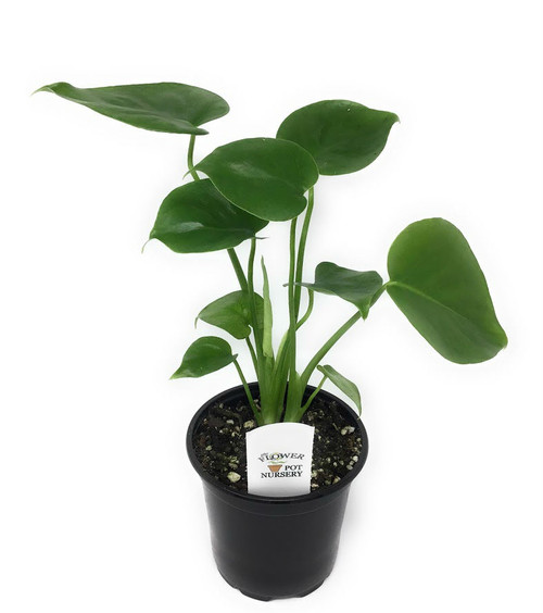 "FlowerPotNursery Swiss Cheese Plant Monstera deliciosa 4"" Pot"