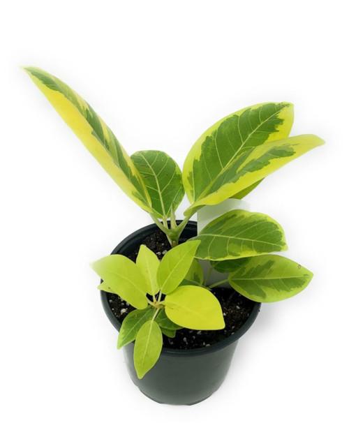 """FlowerPotNursery Golden Gem Rubber Plant Ficus altissima Golden Gem 4"""" Pot"""