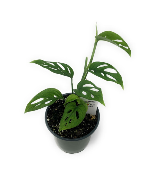 "FlowerPotNursery Swiss Cheese Vine Monstera Adansonii 4"" Pot"