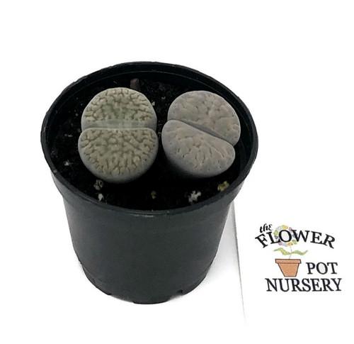 "FlowerPotNursery Lithops Living Rock Lithops sp. 2"" Pot"