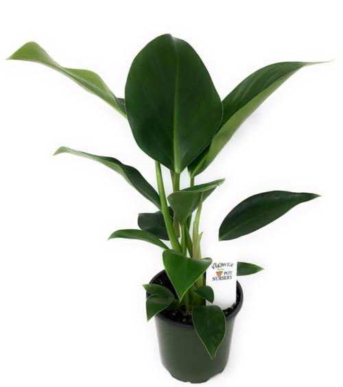 """FlowerPotNursery Philodendron Congo Philodendron congo 4"""" Pot"""