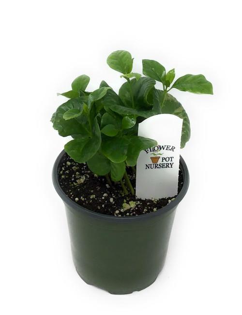 "FlowerPotNursery Arabian Coffee Plant Coffea arabica 4"" Pot"