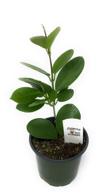 "FlowerPotNursery Waxvine Waxflower Hoya australis 4"" Pot"