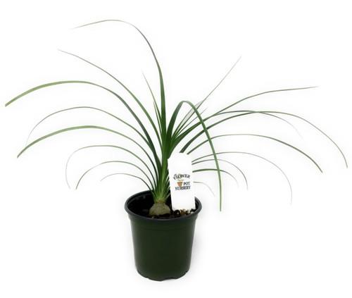 "FlowerPotNursery Ponytail Palm (Single) Beaucarnea recurvata 4"" Pot"