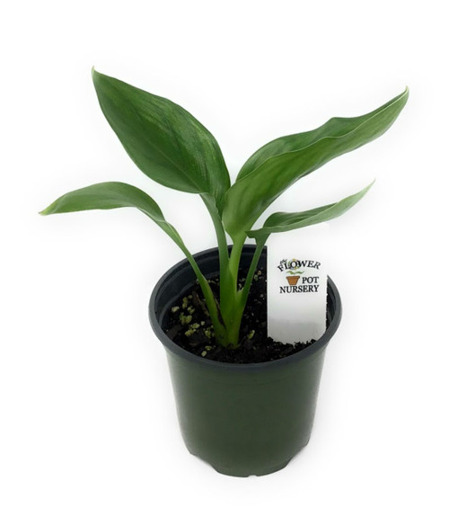 "FlowerPotNursery Bird Of Paradise Blue Orange Strelitzia reginae 4"" Pot"