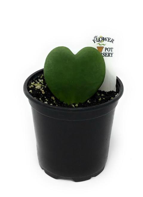 "FlowerPotNursery Heart Hoya Kerrii Green Hoya kerrii Green 4"" Pot"