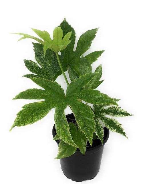 "FlowerPotNursery Variegated Fatsia japonica Spiders Web Fatsia japonica 4"" Pot"