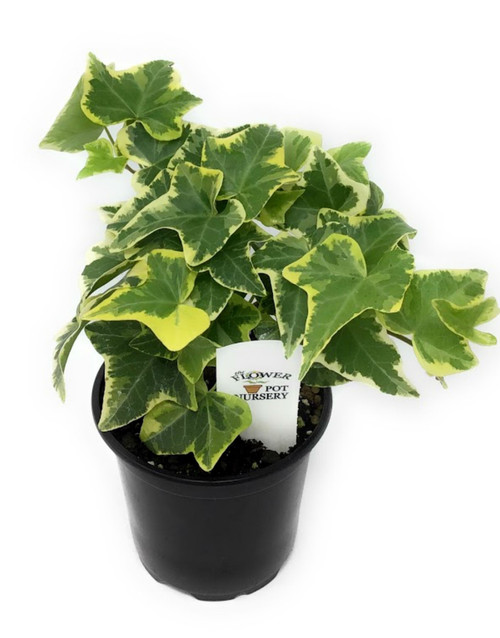 "FlowerPotNursery English Ivy Gold Child Hedera helix Gold Child 4"" Pot"