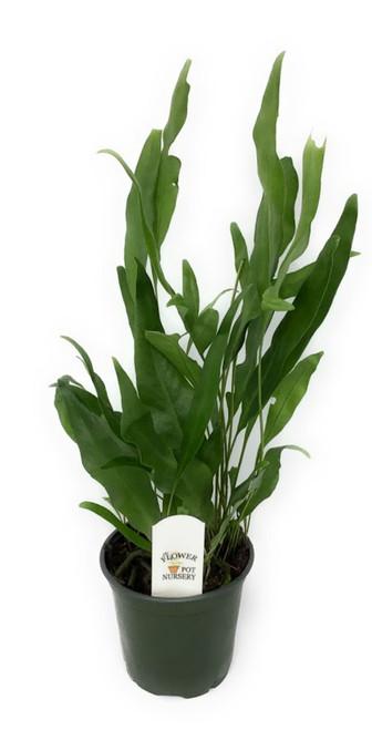 "FlowerPotNursery Hawaiian Laua'e Fern Kangaroo Microsorum grossum Lauae 4"" Pot"