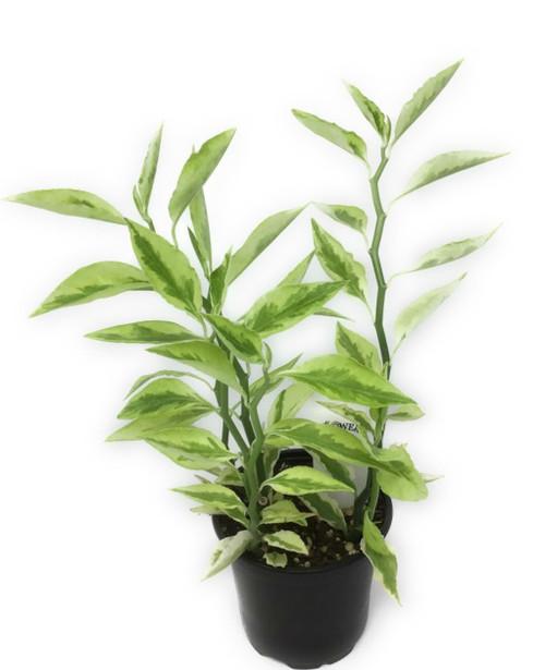"FlowerPotNursery Green Devils Backbone Pedilanthus tithymaloides 4"" Pot"