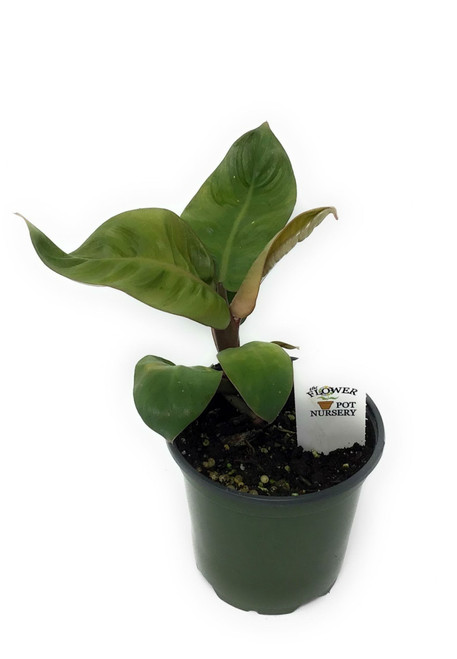 "FlowerPotNursery Black Cardinal Philodendron Philodendron sp. 4"" Pot"