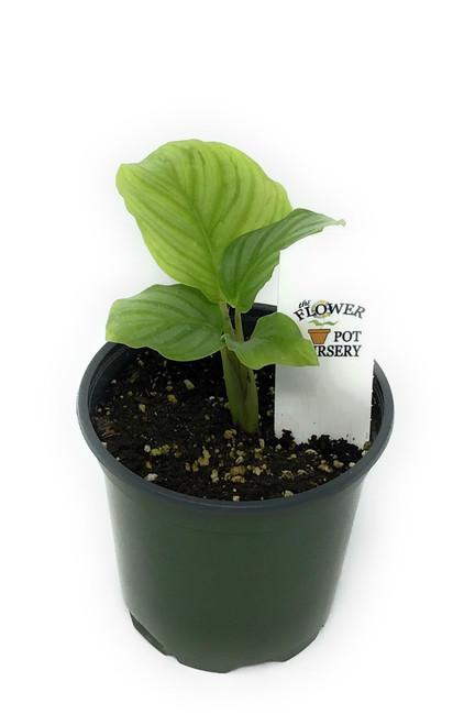 """FlowerPotNursery Green Orbifolia Calathea Calathea orbifolia 4"""" Pot"""