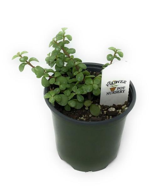 "FlowerPotNursery Dwarf Jade Plant Elephant Bush Portulacaria afra 4"" Pot"