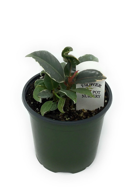 """FlowerPotNursery Variegated Rubber Plant Ficus elastica Tineke 4"""" Pot Multi"""
