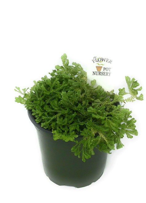 "FlowerPotNursery Green Spikemoss Selaginella kraussiana Green 4"" Pot"