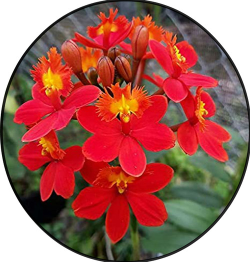 "FlowerPotNursery Epidendrum sp. Max Valley Shiranui Orchid 4"" Pot"