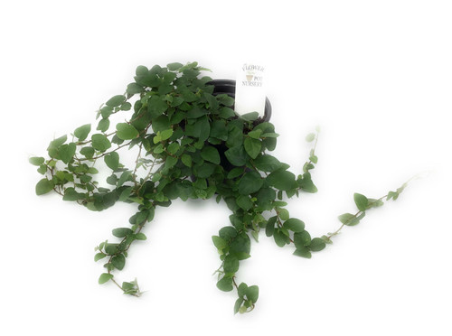 "FlowerPotNursery Creeping Fig Ivy Green Ficus pumila Green 4"" Pot"