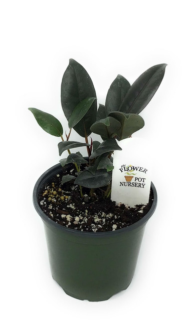 "FlowerPotNursery Burgundy Rubber Tree Ficus elastica Burgundy 4"" Pot Multi"