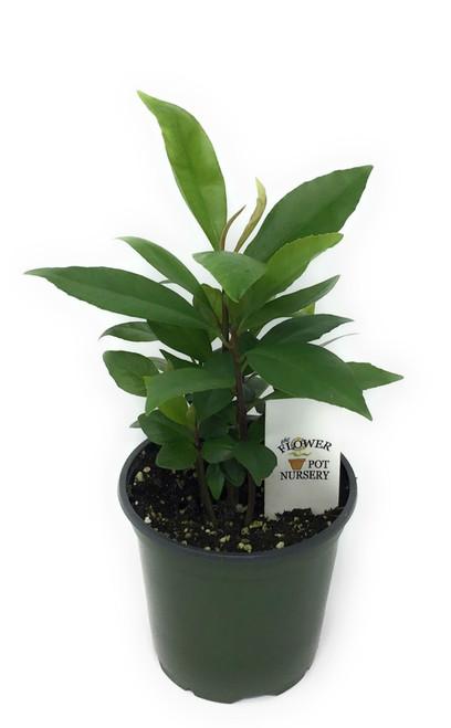 "FlowerPotNursery Ardisia Coralberry Ardisia humilis 4"" Pot"
