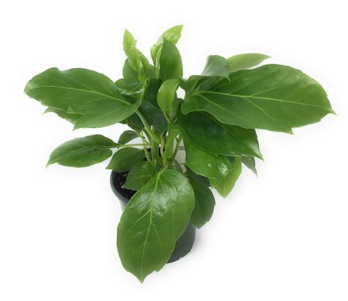 "FlowerPotNursery Large Leaf Schefflera Schefflera amate 4"" Pot"