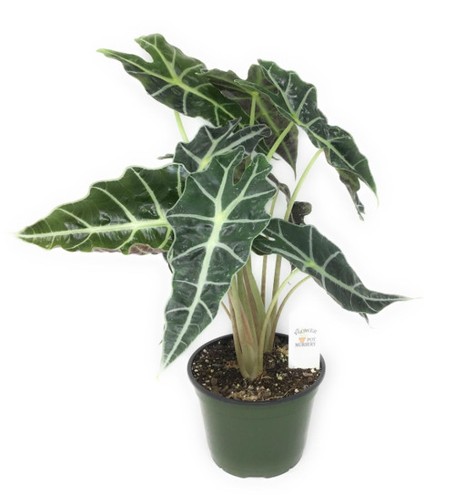 "FlowerPotNursery African Mask Polly Alocasia amazonica Polly 6"" Pot"