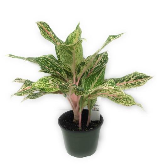 "FlowerPotNursery Chinese Evergreen Lucky Lady Aglaonema sp. Lucky Lady 6"" Pot"