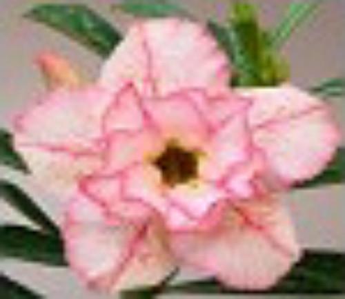 "FlowerPotNursery Thai Hybrid Desert Rose Pink Diamond Adenium obesum 4"" Pot"