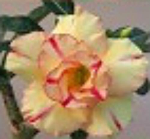 """FlowerPotNursery Thai Hybrid Desert Rose Pineapple Rose Adenium obesum 4"""" Pot"""