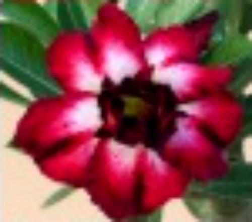 """FlowerPotNursery Thai Hybrid Desert Rose Heartfelt Adenium obesum 4"""" Pot"""