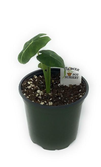"""FlowerPotNursery Velvet Elvis Alocasia micholitziana Velvet Elvis 4"""" Pot"""