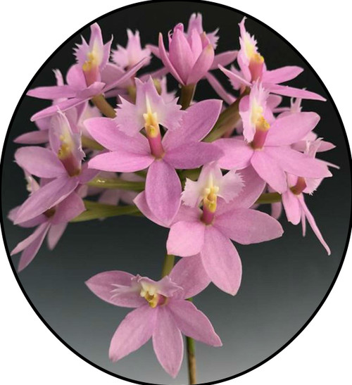 "FlowerPotNursery Epidendrum sp. Wedding Valley Yukimai Orchid 6"" Pot"