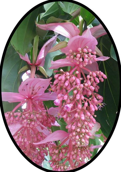 "FlowerPotNursery Philippine Orchid Medinilla magnifica Florinilla Arosa 4"" Pot"