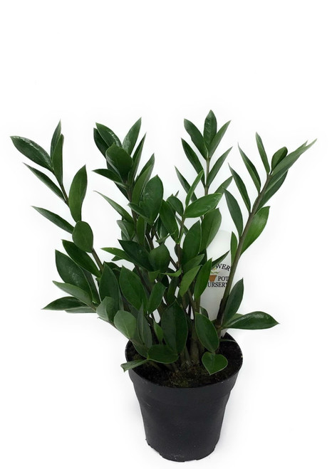 """FlowerPotNursery ZZ Plant Zanzibar Gem Zamioculcas zamiifolia 4"""" Pot"""