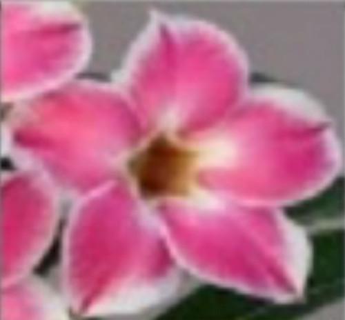 """FlowerPotNursery Desert Rose CB lai 2 Border Adenium obesum CB lai 2 4"""" Pot"""