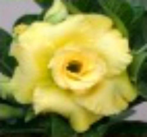 "FlowerPotNursery Desert Rose CC 59 Yellow Adenium obesum CC 59 4"" Pot"