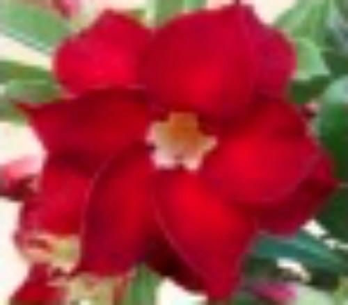 "FlowerPotNursery Desert Rose Exhibition Double Red Adenium obesum 4"" Pot"
