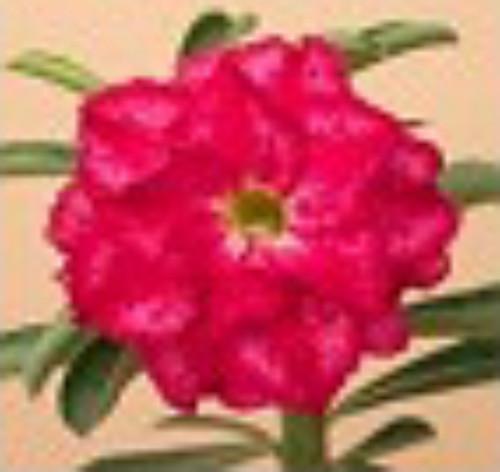 "FlowerPotNursery Desert Rose Triple Fantasy Splash Petals Adenium obesum 4"" Pot"