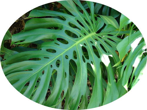 FlowerPotNursery Swiss Cheese Plant Monstera deliciosa 5 Seeds
