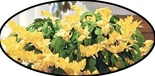 "FlowerPotNursery Christmas Cactus Yellow Schlumbergera bridgesii Yellow 4"" Pot"