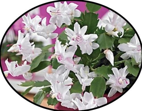 "FlowerPotNursery Christmas Cactus White Schlumbergera bridgesii White 4"" Pot"