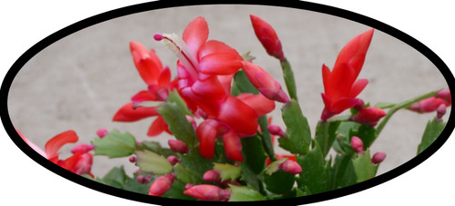 "FlowerPotNursery Christmas Cactus Red Schlumbergera bridgesii Red 4"" Pot"