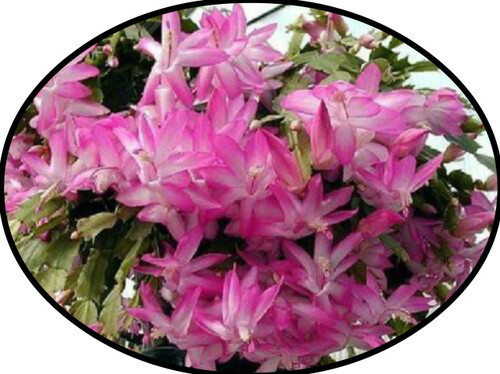 "FlowerPotNursery Christmas Cactus Hot Pink Schlumbergera bridgesii H. Pink 4"" Pot"