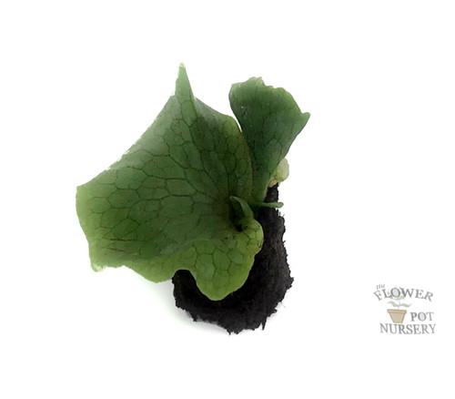 FlowerPotNursery Superbum Staghorn Fern Platycerium superbum Bare Root