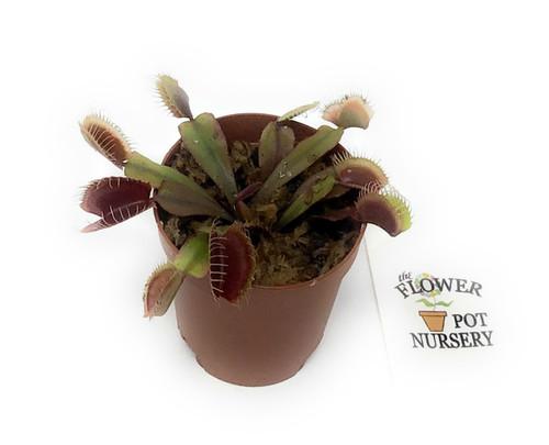 FlowerPotNursery Venus Flytrap Akai Ryu Dionaea muscipula Akai Ryu 2 Inch Pot