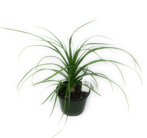 FlowerPotNursery Ponytail Palm Beaucarnea recurvata 6 Inch Pot